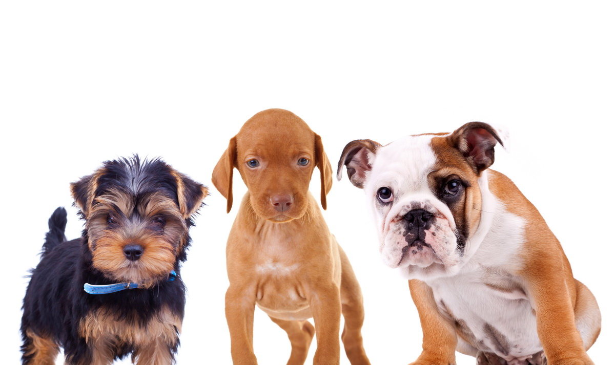 three cute curious puppies are looking at the camera. yorkshire terrier, viszla and english bulldog standing on white background
