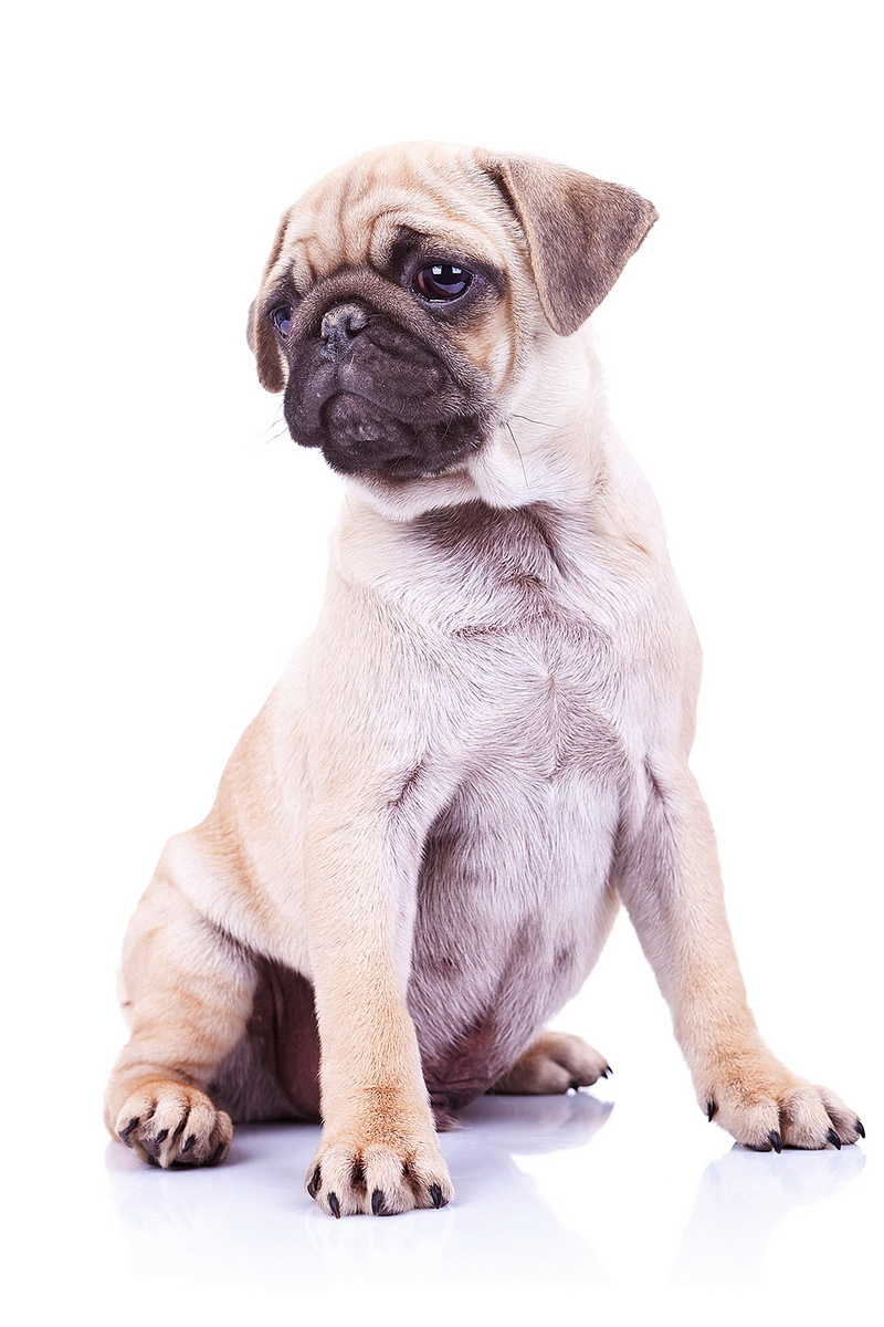 adorable mops puppy, sitting and looking at something to its side. cute pug puppy dog looking to a side on white background