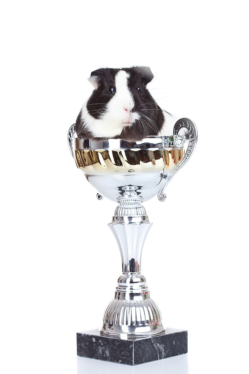 Cute black and white guinea pig sitting in a cup