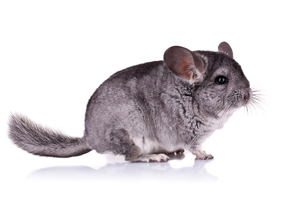 picture of a Young Chinchilla over white background