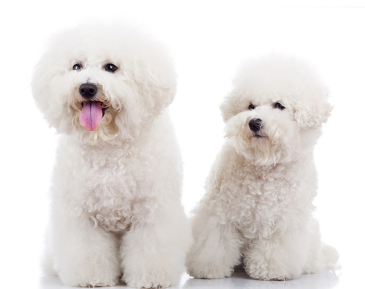 two curious bichon frise puppy dogs, one looking at the camera and one looking at its pair