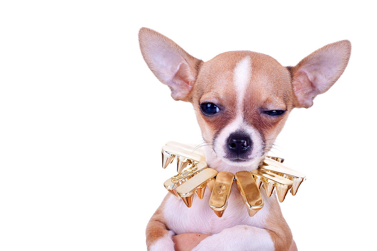 cluseup picture of a chihuahua puppy with golden studded collar looking very suspicious