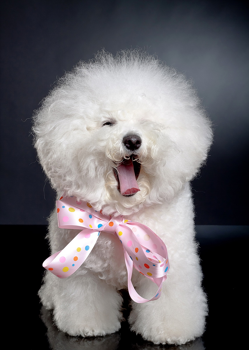 picture of a sleepy bichon frise on a black background